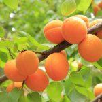 abricots sur abricotier 150x150 - Le Mas d'Espiard à Vallabrègues en photos