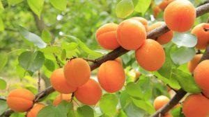 abricots sur abricotier 300x169 - Cueillette à la ferme