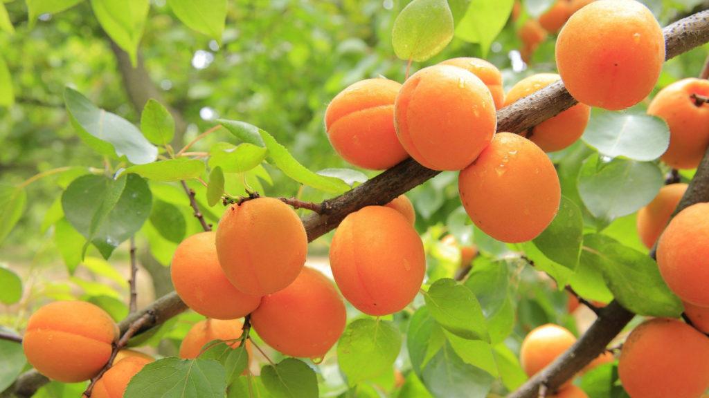 abricots sur abricotier - La vigne