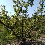 abricotier 150x150 - Le Mas d'Espiard à Vallabrègues en photos